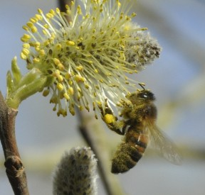 Bee collecting willow pollen